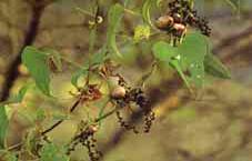 秋になると蔓には「むかご」がたくさん付きました。